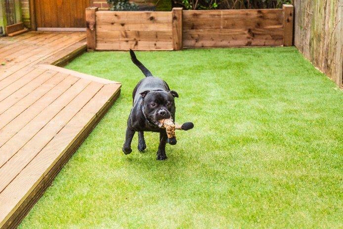 Dog running on artificial turf