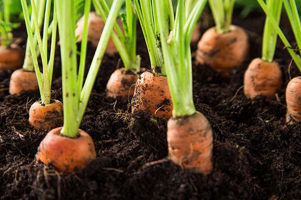 Carrots in vegetable garden