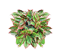 Chinese evergreen in the home