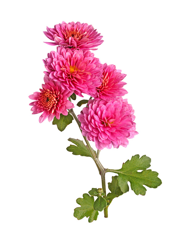 chrysanthemum plant for your home