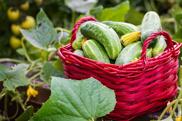 cucumbers in vegetable garden