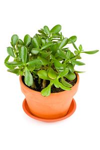 green jade plant