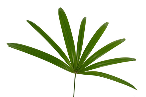 Lady palm plant for the home