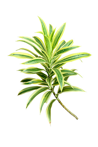 Spider plant for your home