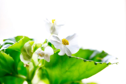 Wax begonia plant for the home